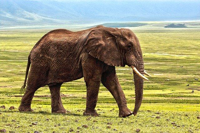 éléphant afrique