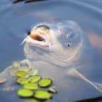 carpe koi dans l'eau