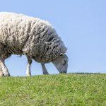 mouton qui mange de l'herbe