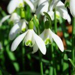 fleur perce neige
